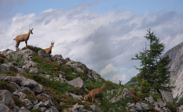 Gamsen Nationalpark Berchtesgaden Koenigssee
