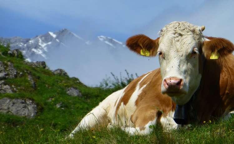 Kuh auf der Büchsenalm